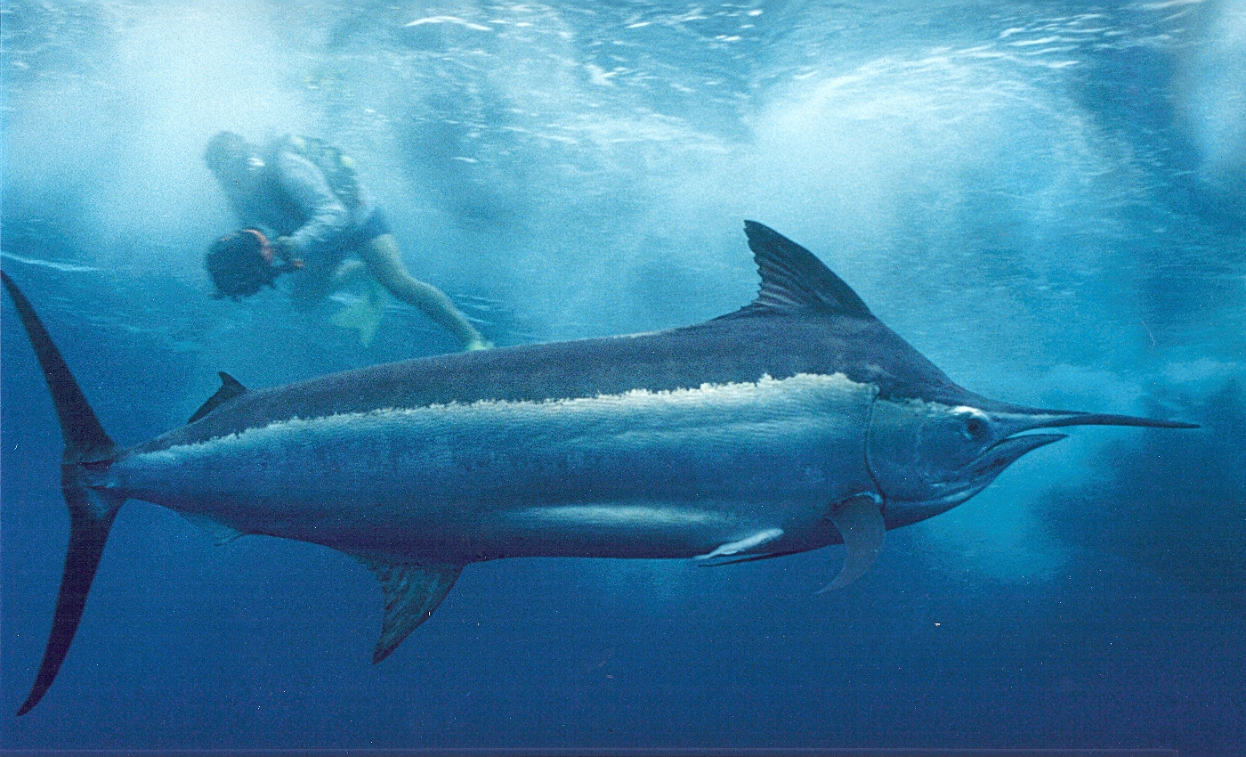Offield_Billfish_Image
